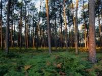 fenyőerdő, fenyőkéreg, visszér, vénás elégtelenség
